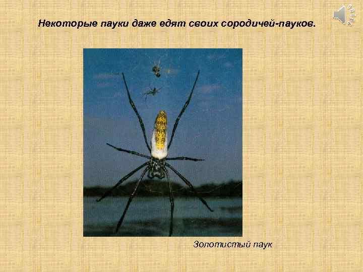 Некоторые пауки даже едят своих сородичей-пауков. Золотистый паук