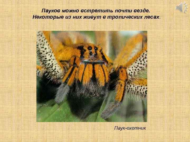 Пауков можно встретить почти везде. Некоторые из них живут в тропических лесах. Паук-охотник