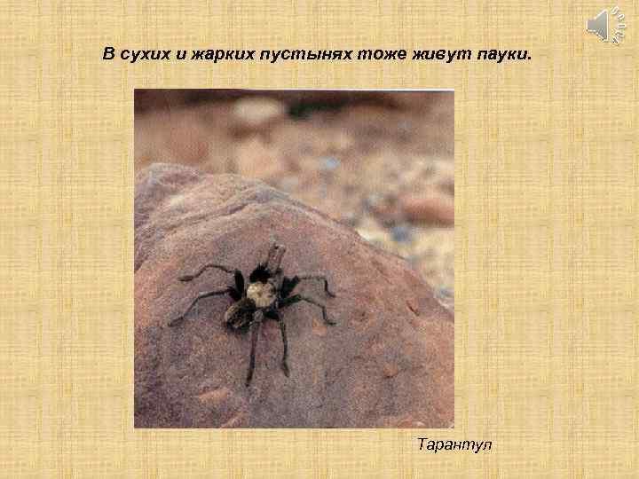 В сухих и жарких пустынях тоже живут пауки. Тарантул