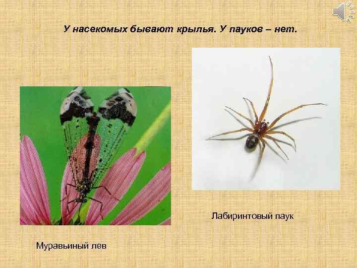У насекомых бывают крылья. У пауков – нет. Лабиринтовый паук Муравьиный лев
