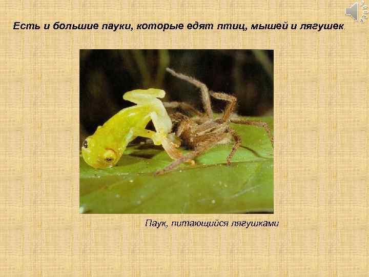 Есть и большие пауки, которые едят птиц, мышей и лягушек. Паук, питающийся лягушками