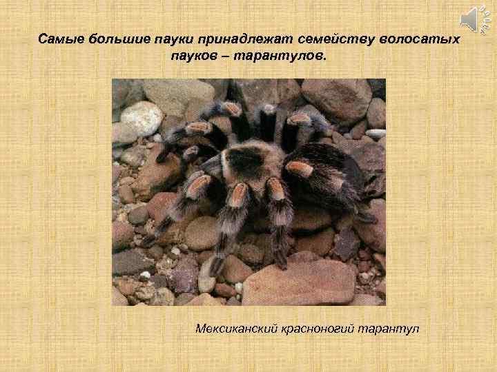 Самые большие пауки принадлежат семейству волосатых пауков – тарантулов. Мексиканский красноногий тарантул
