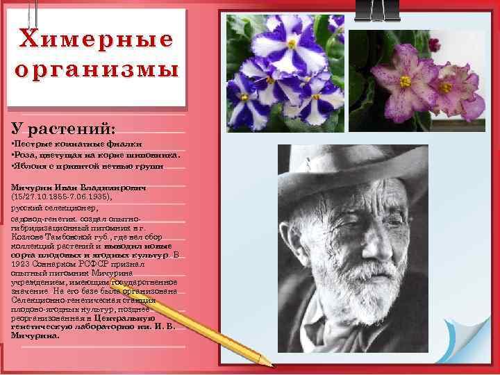 Химерные организмы У растений: • Пестрые комнатные фиалки • Роза, цветущая на корне шиповника.