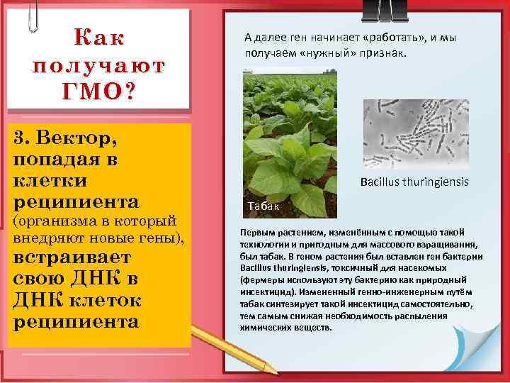 Как получают ГМО? 3. Вектор, попадая в клетки реципиента (организма в который внедряют новые