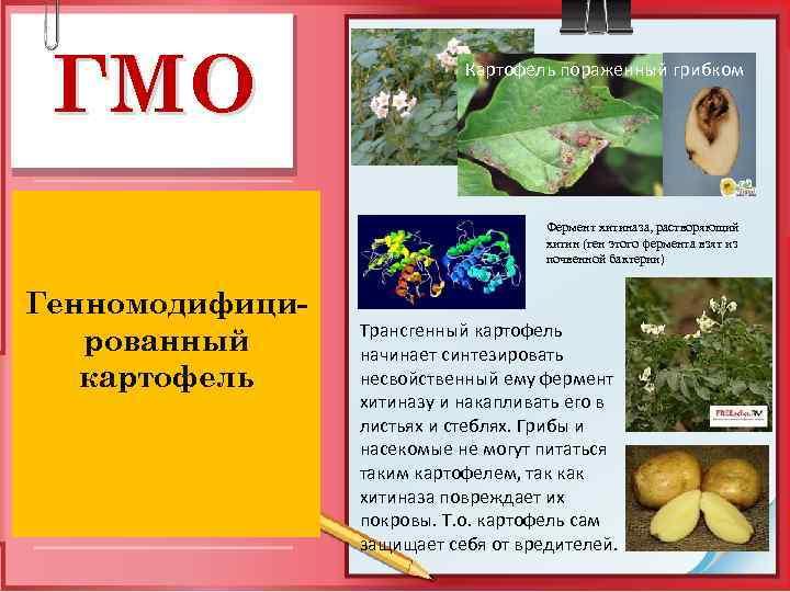 ГМО Картофель пораженный грибком Фермент хитиназа, растворяющий хитин (ген этого фермента взят из почвенной