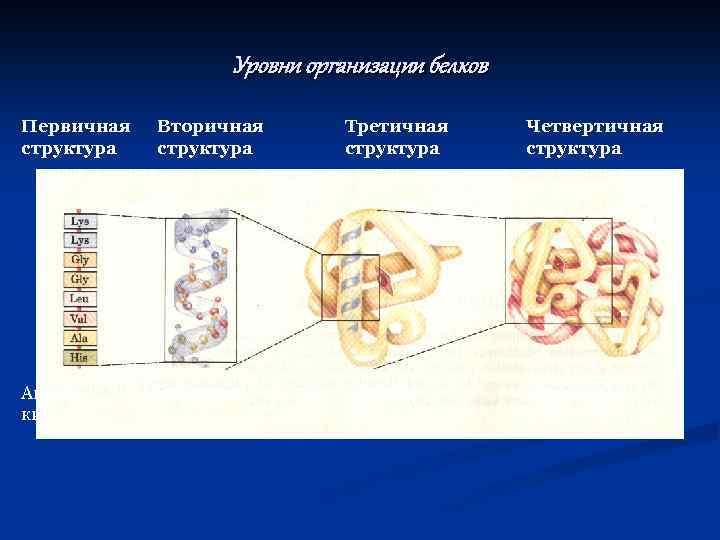 Уровни организации белков Первичная структура Аминокислоты Вторичная структура α-спираль Третичная структура Глобула белка Четвертичная