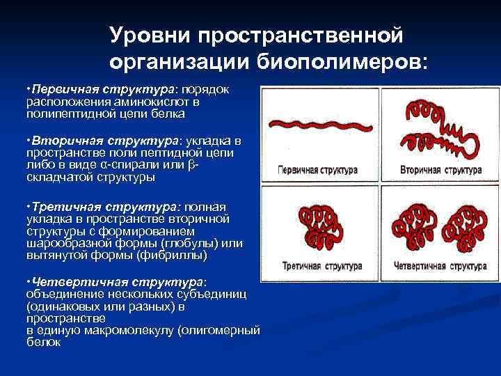 Уровни пространственной организации биополимеров: • Первичная структура: порядок расположения аминокислот в полипептидной цепи белка