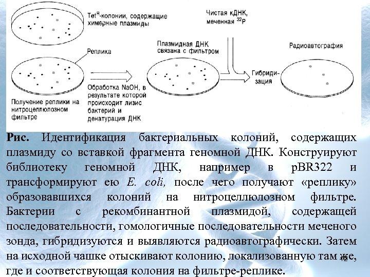 Рис. Идентификация бактериальных колоний, содержащих плазмиду со вставкой фрагмента геномной ДНК. Конструируют библиотеку геномной