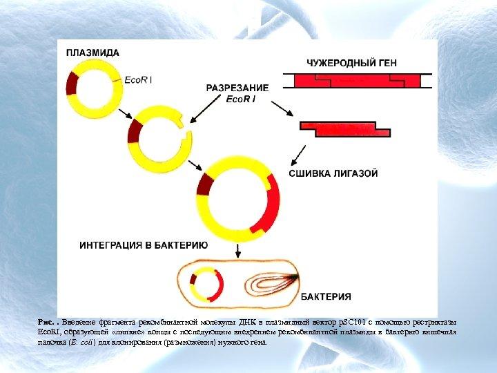 Рис. . Введение фрагмента рекомбинантной молекулы ДНК в плазмидный вектор p. SC 101 с