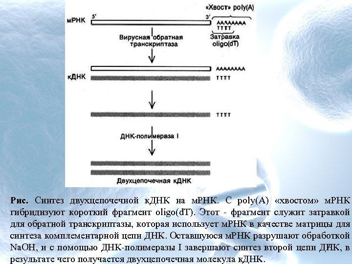 Рис. Синтез двухцепочечной к. ДНК на м. РНК. С роlу(А) «хвостом» м. РНК гибридизуют