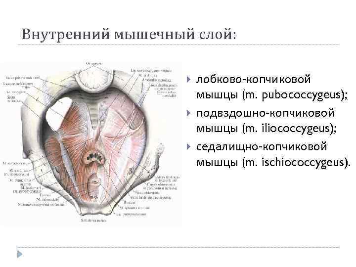 Внутренний мышечный слой: лобково-копчиковой мышцы (m. pubococcygeus); подвздошно-копчиковой мышцы (m. iliococcygeus); седалищно-копчиковой мышцы (m.