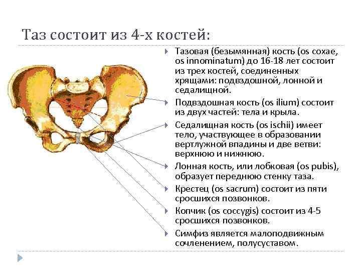 Таз состоит из 4 -х костей: Тазовая (безымянная) кость (os coxae, os innominatum) до