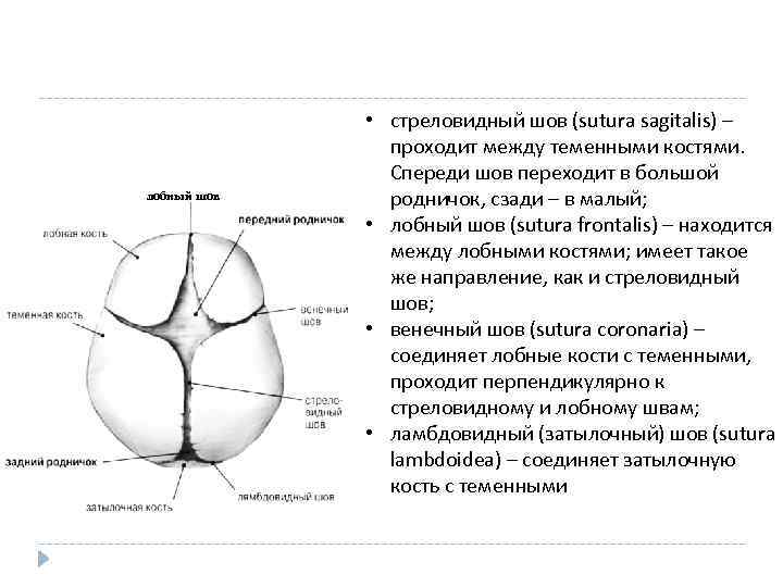 лобный шов • стреловидный шов (sutura sagitalis) – проходит между теменными костями. Спереди шов