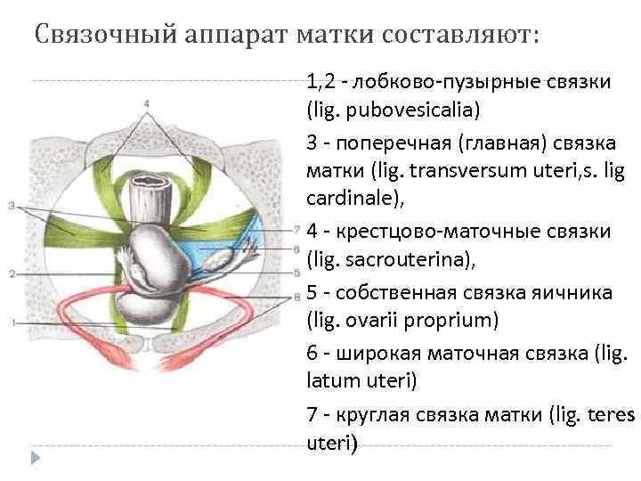 Связочный аппарат матки составляют: 1, 2 - лобково-пузырные связки (lig. pubovesicalia) 3 - поперечная