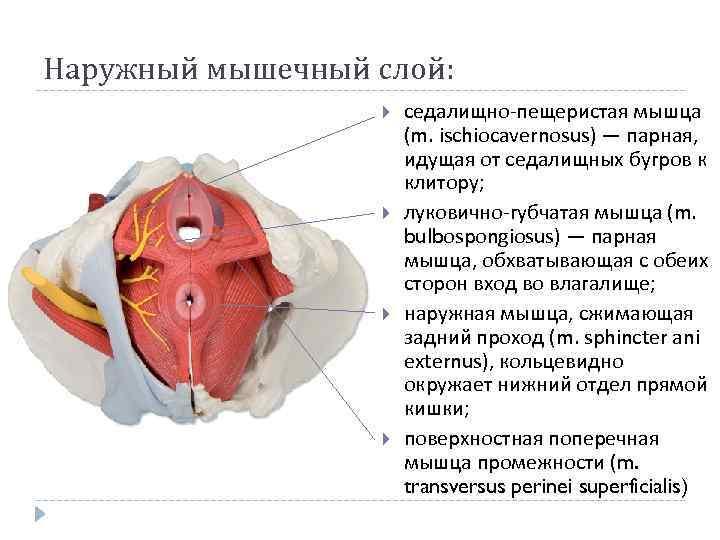 Наружный мышечный слой: седалищно-пещеристая мышца (m. ischiocavernosus) — парная, идущая от седалищных бугров к