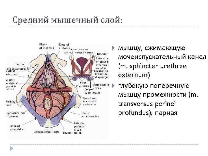 Средний мышечный слой: мышцу, сжимающую мочеиспускательный канал (m. sphincter urethrae externum) глубокую поперечную мышцу