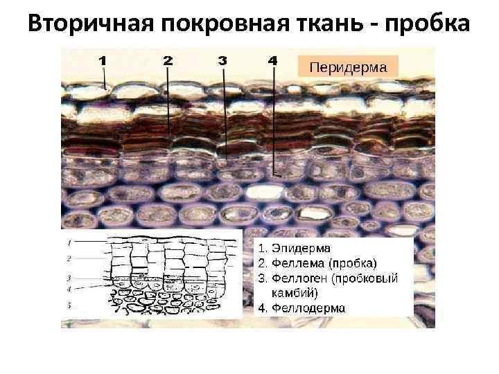Вторичная покровная ткань - пробка