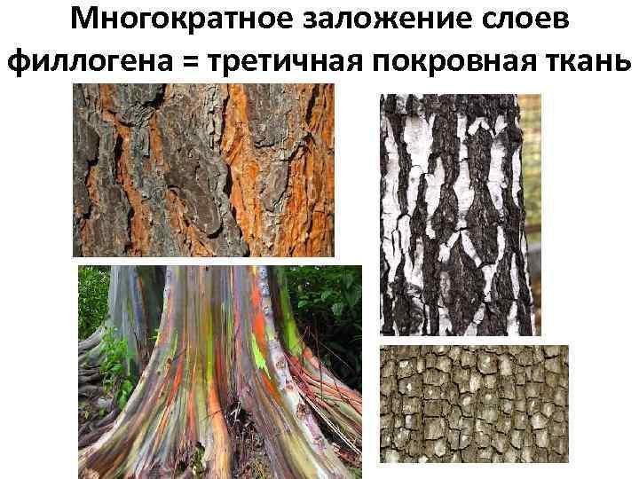 Многократное заложение слоев филлогена = третичная покровная ткань