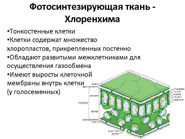 Фотосинтезирующая ткань Хлоренхима • Тонкостенные клетки • Клетки содержат множество хлоропластов, прикрепленных постенно •