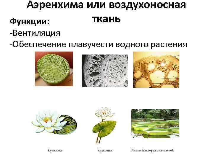 Аэренхима или воздухоносная ткань Функции: -Вентиляция -Обеспечение плавучести водного растения