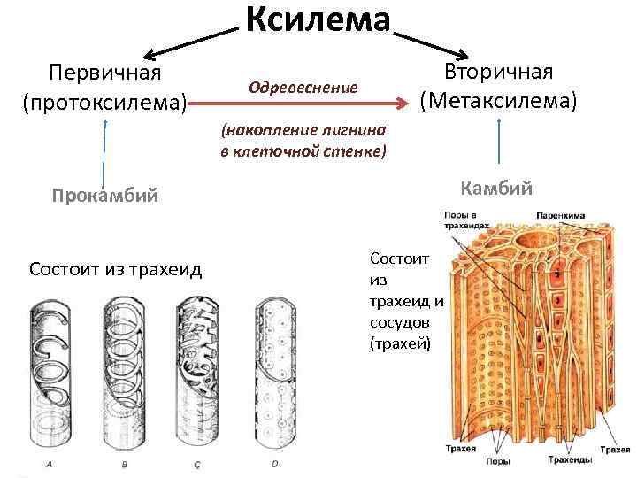 Ксилема Первичная (протоксилема) Вторичная (Метаксилема) Одревеснение (накопление лигнина в клеточной стенке) Камбий Прокамбий Состоит