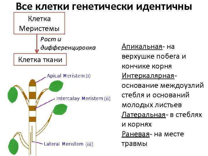 Все клетки генетически идентичны Клетка Меристемы Рост и дифференцировка Клетка ткани Апикальная- на верхушке