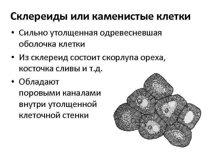Склереиды или каменистые клетки • Сильно утолщенная одревесневшая оболочка клетки • Из склереид состоит