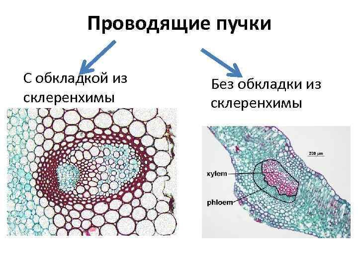Проводящие пучки С обкладкой из склеренхимы Без обкладки из склеренхимы