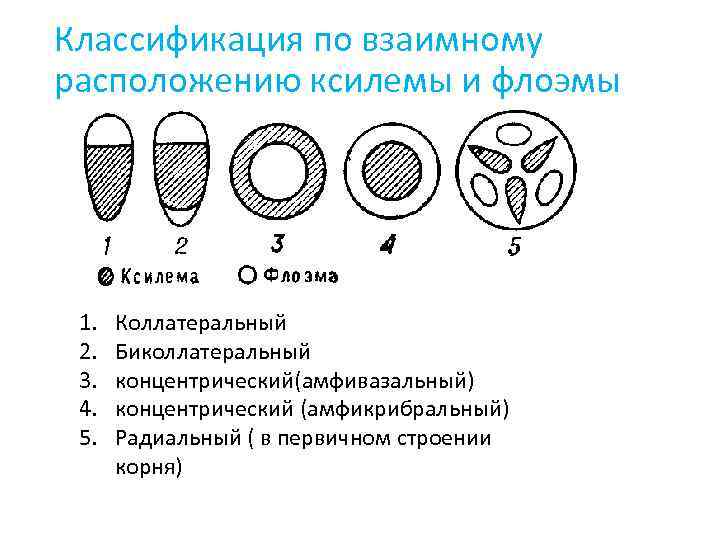 Классификация по взаимному расположению ксилемы и флоэмы 1. 2. 3. 4. 5. Коллатеральный Биколлатеральный