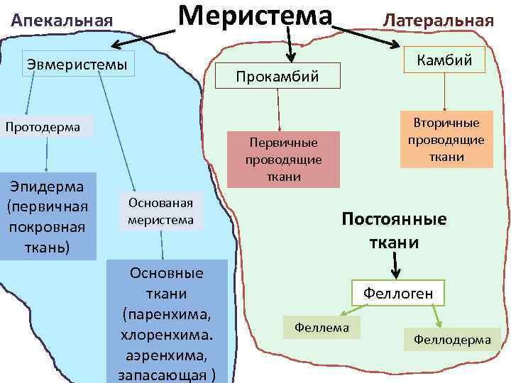 Меристема Апекальная Эвмеристемы Протодерма Эпидерма (первичная покровная ткань) Латеральная Камбий Прокамбий Вторичные проводящие ткани