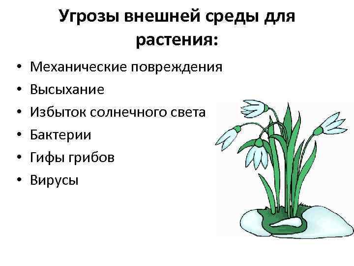 Угрозы внешней среды для растения: • • • Механические повреждения Высыхание Избыток солнечного света