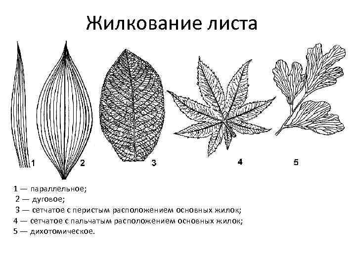 картинки параллельных листьев предлагаем