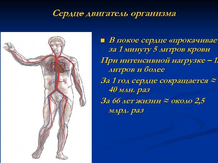 Сердце двигатель организма – В покое сердце «прокачивает за 1 минуту 5 литров крови