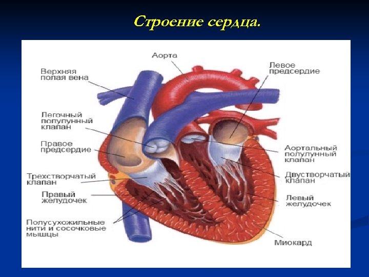 Строение сердца.