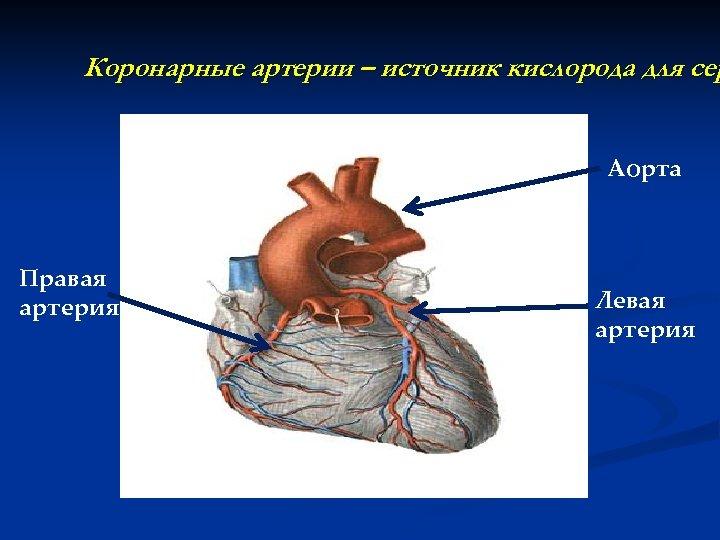 Коронарные артерии – источник кислорода для сер Аорта Правая артерия Левая артерия