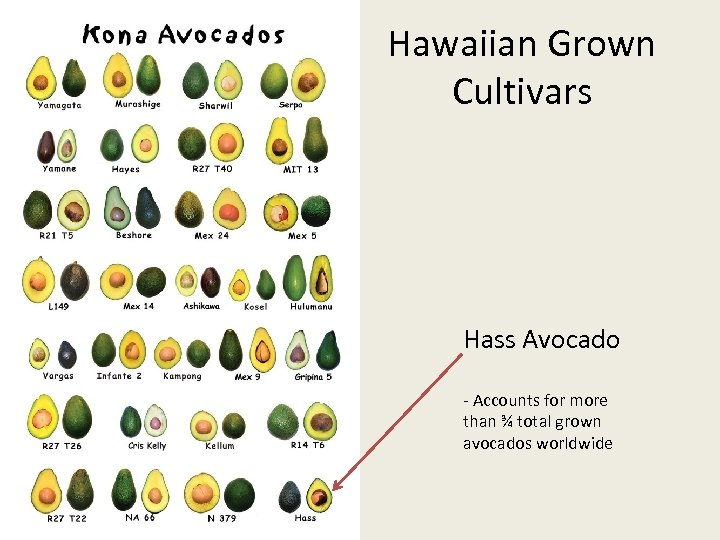 Hawaiian Grown Cultivars Hass Avocado - Accounts for more than ¾ total grown avocados
