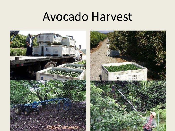 Avocado Harvest Calavo Growers