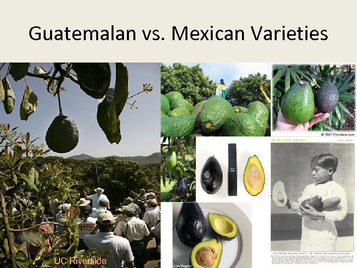 Guatemalan vs. Mexican Varieties UC Riverside