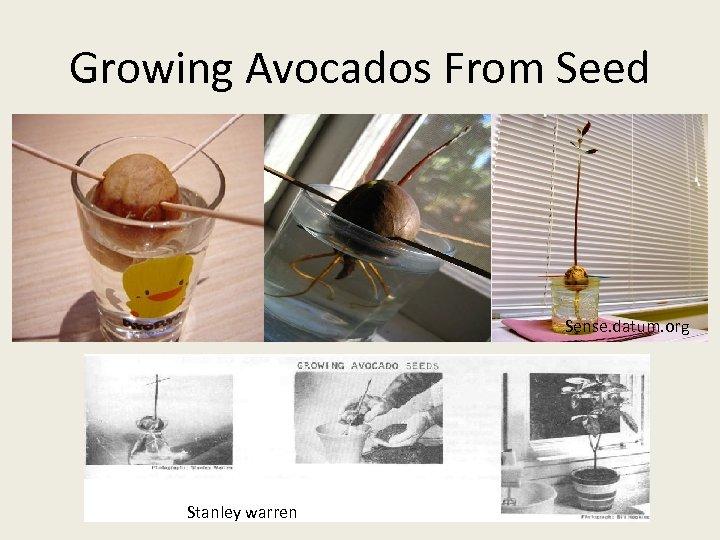Growing Avocados From Seed Sense. datum. org Stanley warren