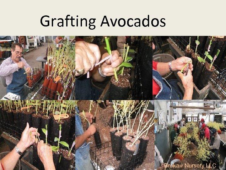 Grafting Avocados Brokaw Nursery LLC