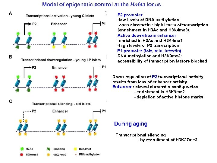Model of epigenetic control at the Hnf 4 a locus. P 2 promoter -low