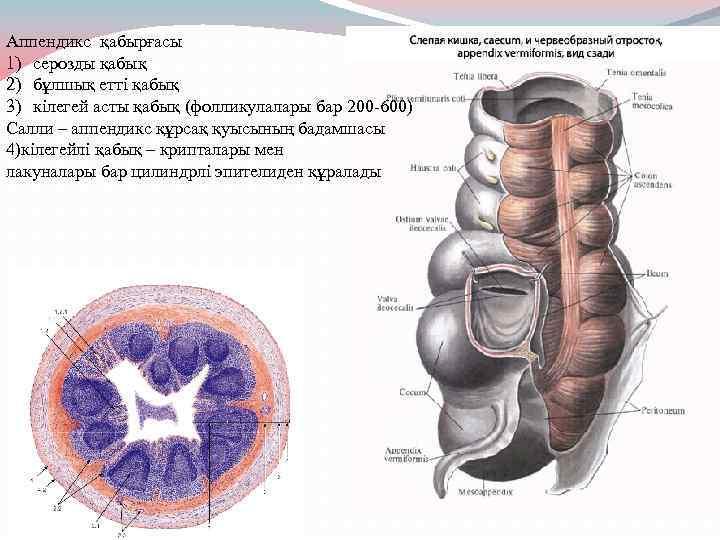 Аппендикс қабырғасы 1) серозды қабық 2) бұлшық етті қабық 3) кілегей асты қабық (фолликулалары