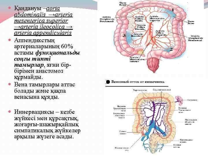 Қандануы –aorta abdominalis →arteria mesenterica superior →arteria ileocolica → arteria appendicularis Аппендикстың артериаларының