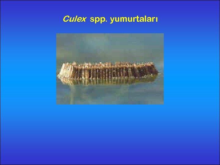 Culex spp. yumurtaları