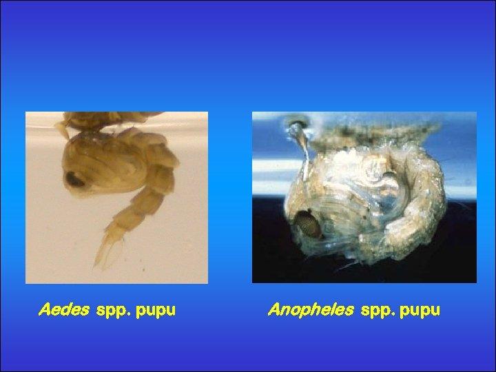 Aedes spp. pupu Anopheles spp. pupu