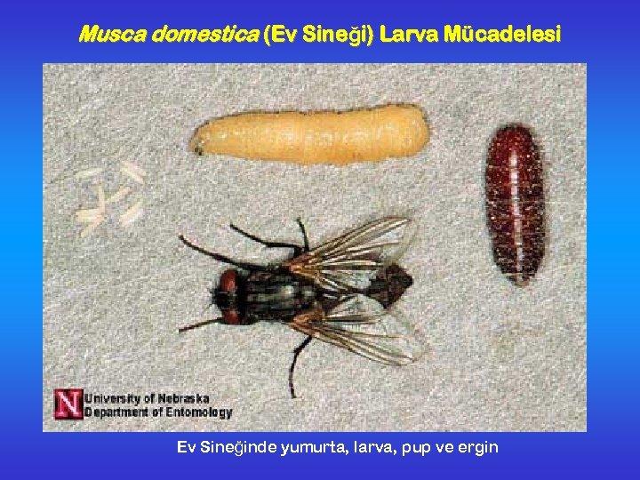 Musca domestica (Ev Sineği) Larva Mücadelesi Ev Sineğinde yumurta, larva, pup ve ergin