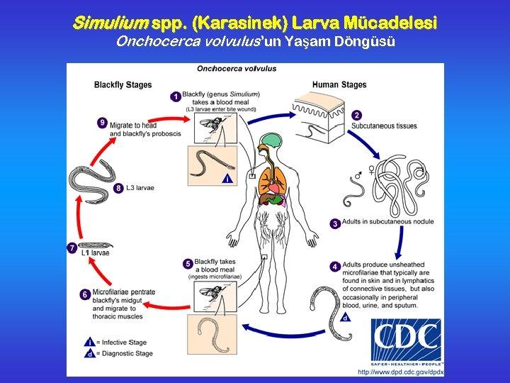 Simulium spp. (Karasinek) Larva Mücadelesi Onchocerca volvulus'un Yaşam Döngüsü