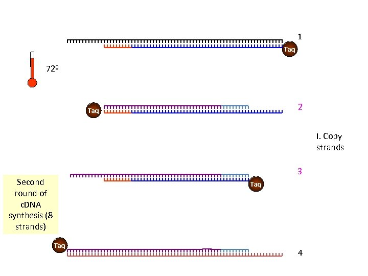 1 Taq 72º 2 Taq I. Copy strands 3 Second round of c. DNA
