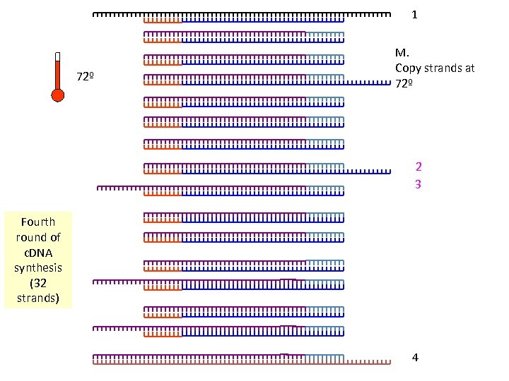 1 72º M. Copy strands at 72º 2 3 Fourth round of c. DNA