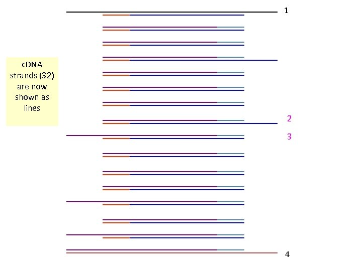 1 c. DNA strands (32) are now shown as lines 2 3 4